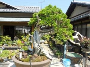 Bonsai Pertama Dikenalkan oleh Para Biksu